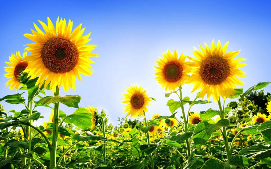 Sunflowers Desktop Wallpapers (2)
